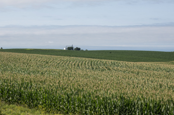 A fairly nondescript field of corn!