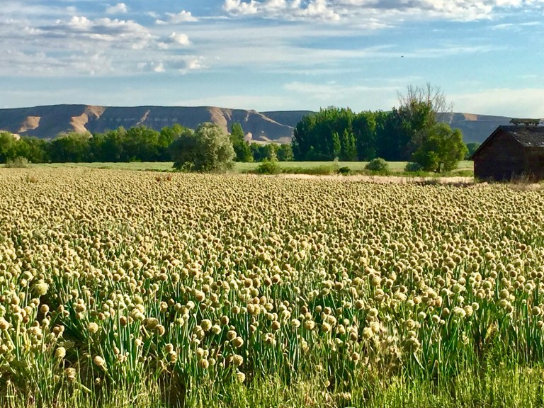Field of onions on the Idaho/Oregon border